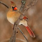 Female Northern Cardinal by Jeff Weymier