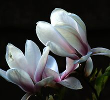 Magnolia and house guest by Chris Day