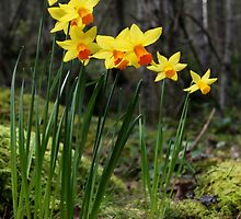 daffodils in the woods by TerrillWelch