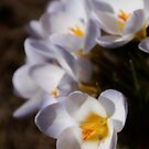 the soft and sultry white lady crocus by Kristin Reynolds