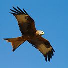 Red Kite 1 by SWEEPER