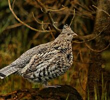 Ruffed Grouse by Vickie Emms