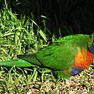 Rainbow lorikeet! by KiriLees
