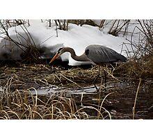 Blue Heron Hunting Photographic Print
