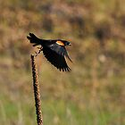 Red-winged Blackbird by Mully410