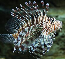 Lionfish, Atlanta Aquarium by Jane McDougall