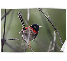 Red-backed Fairy Wren Poster