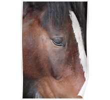 Shire Horse Poster