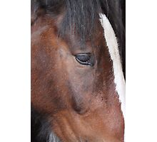 Shire Horse Photographic Print