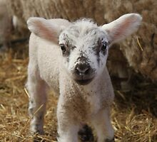Spring Lamb by Matt Powell