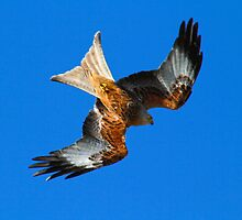 Red Kite 2 by SWEEPER