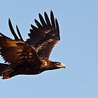 Wedge tailed eagle (circling) by Nuttee Ratanapiseth