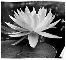 Lotus in Black & White Poster