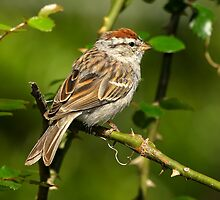 Chipping Sparrow by ButchDavis