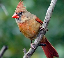 Northern Cardinal, female by ButchDavis