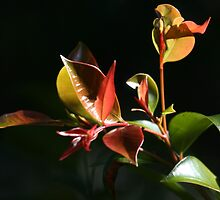 Lilly Pilly leaves by paulinea