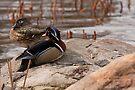 Wood Duck Pairing by Benjamin Brauer