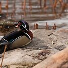 Wood Duck Pairing by Benjamin Brauer