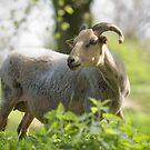 Goat by Henri Ton