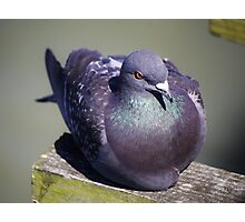 Pretty Pigeon Photographic Print