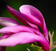 Magnolia II by vbk70