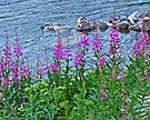 Fireweed on the River Bank by Yukondick