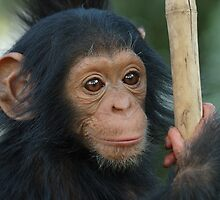 Baby Chimpanzee - Zambia, Africa by Els De Winter