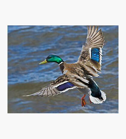 Mallard Drake in Flight Photographic Print