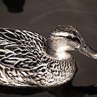 Serene Duck by sjlphotography