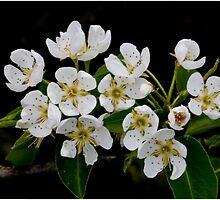 Pear Blossom 2 by J-images