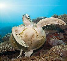 Green turtle underwater by MotHaiBaPhoto Dmitry & Olga