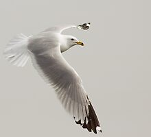 Flight of the Ring billed Gull # 3, Final Chapter by Wayne Wood