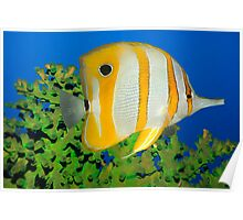 Tropical fish Butterflyfish. Poster