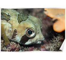 Tropical fish Porcupinefish  Poster