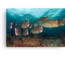 Early morning with the Humphead Parrotfish Canvas Print