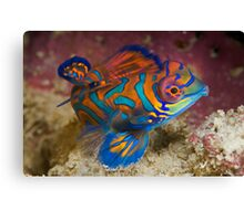 One of the most beautyful coloured fish  Canvas Print