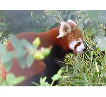 Red Panda-Bristol Zoo Photographic Print