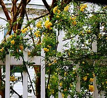 Yellow Flowers on a White Picket Fence by Paulette1021