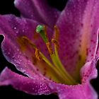 Misty Pink Lilly by James  Southall