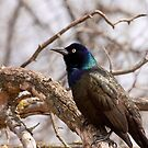Grackle by Benjamin Brauer