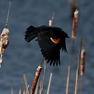Red-Winged Blackbird - In Flight #3 by Benjamin Brauer