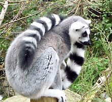 Ring Tailed Lemur- Bristol Zoo by TheFacelessFool