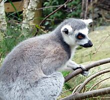 I haz a Branch- Ring Tailed Lemur Bristol Zoo by TheFacelessFool