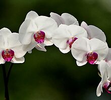 SUNDAY ORCHIDS by RoseMarie747