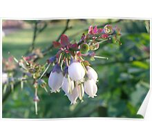 Blueberry Blossoms Poster