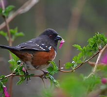 Spotted Towhee 2 by Kathy Yates