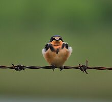 Baby Barn Swallow by Mully410