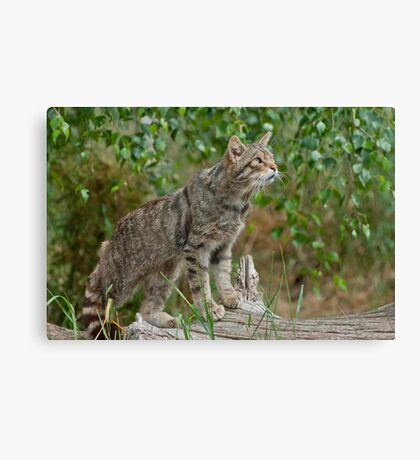 Scottish Wildcat (Felis Sylvestris) Canvas Print