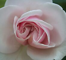 Pink Rose by DebbieCHayes