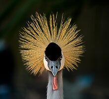 Grey Crowned Crane by Pam Hogg